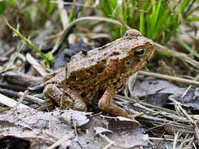 Young Cane Toad