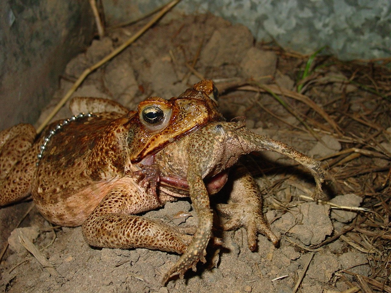 Toad eating a smaller toad.