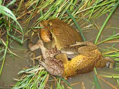 Two male cane toads holding a female - hoping to mate