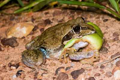 Frog eat frog