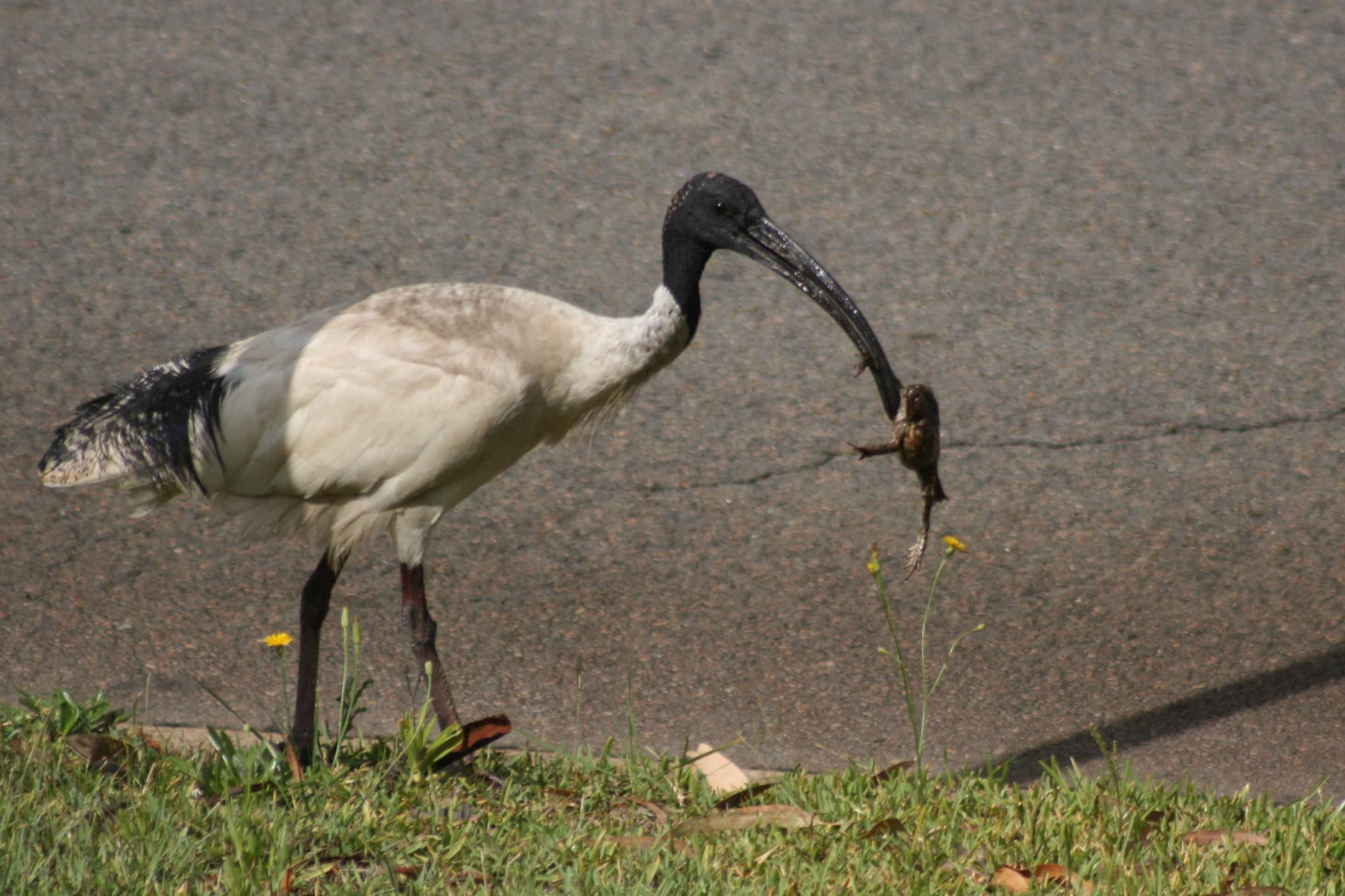 Ibis with toad