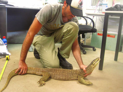 Jai Thomas with the larger yellow-spotted goanna.