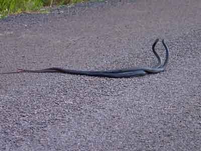Male Black Whipsnakes fighting