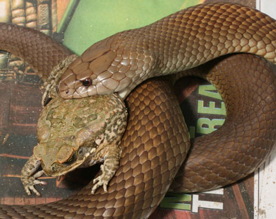 King brown snakes readily seize toads.