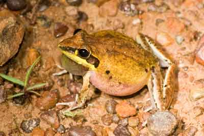 Frog with parasites