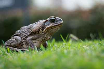 Toad in the gras