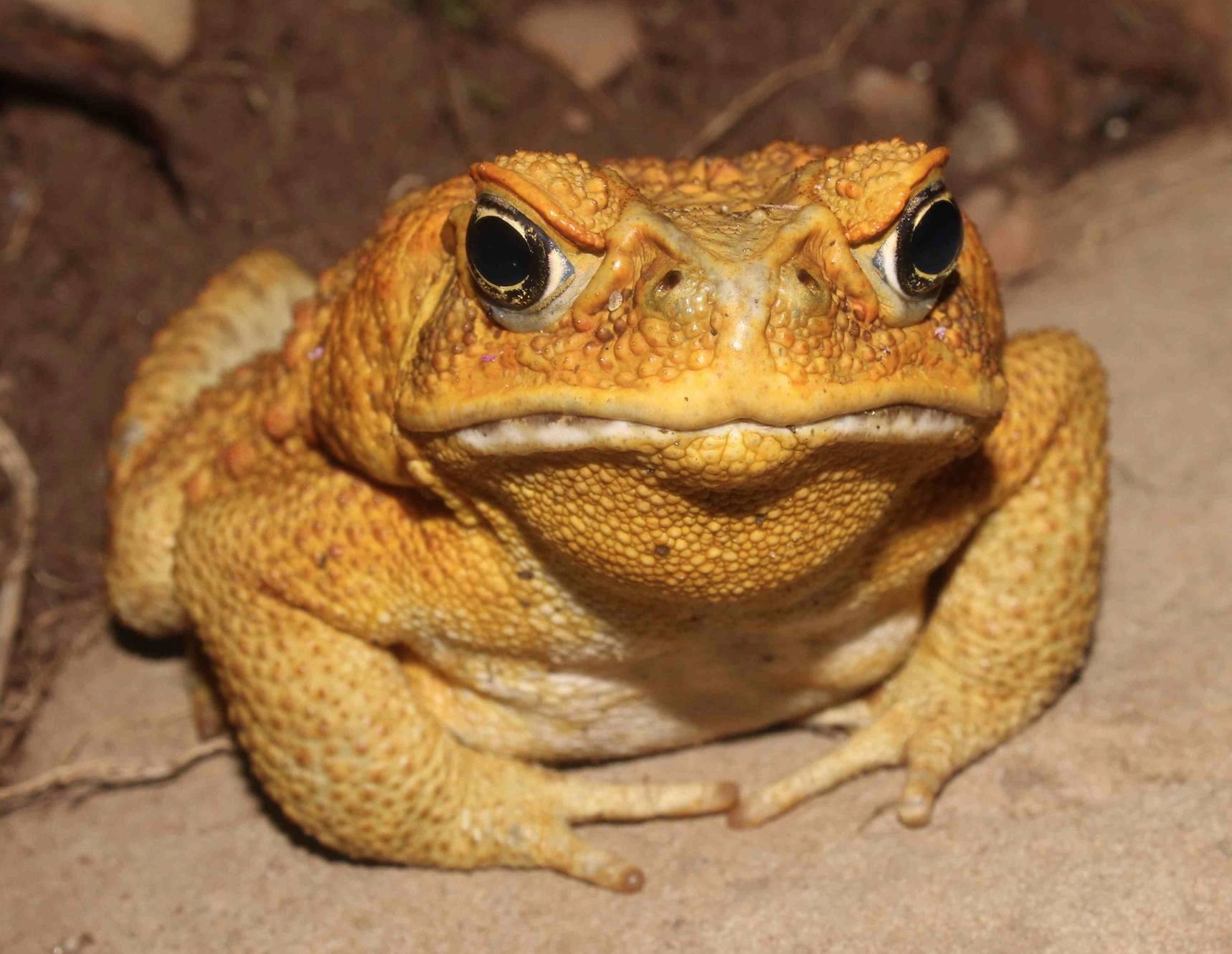 Yellow_Toad_small.jpg