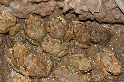 Cane Toads in mud