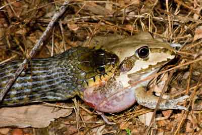 Keelback snakes can eat Cane Toads