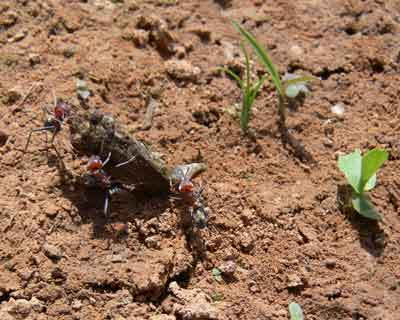 Meat ants devouring cane toadlet