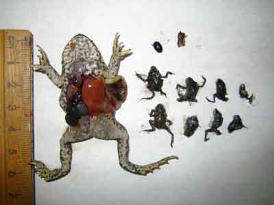 The baby toads (right) were all found inside the stomach of this larger toad.