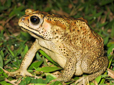 Black Spined Toad