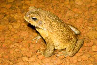 An adult male cane toad