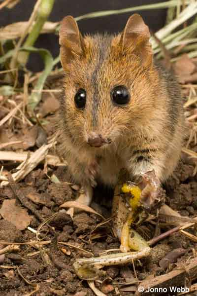 This marsupial Dunnart is a Cane Toad predator