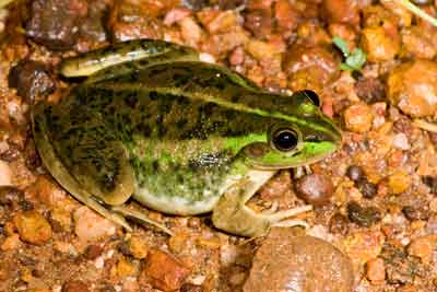 Dahl's aquatic frog was supposed to be able to eat cane toads and survive - but it can't.