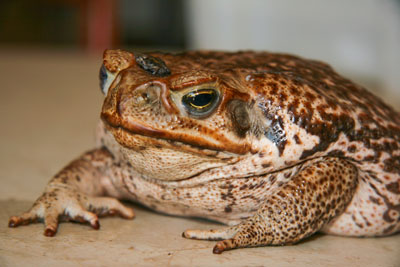 Large cane toad with bab