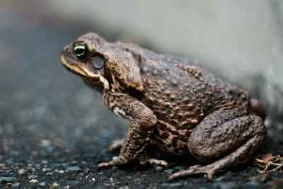 Female Cane Toad