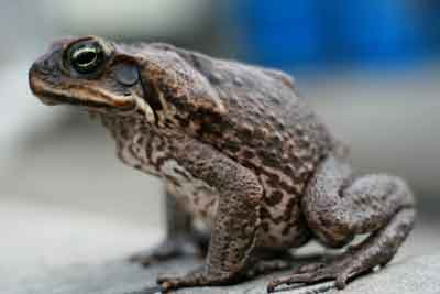 Close up picture of a toad.