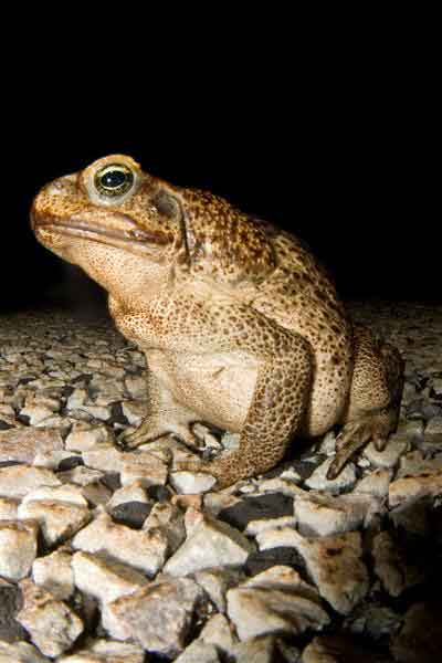 Toad with parasite