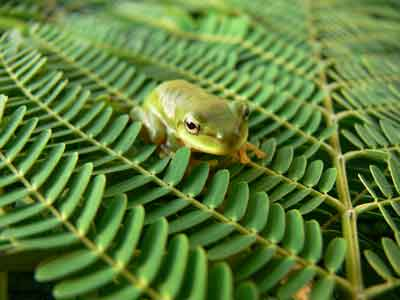 Young green tree frog